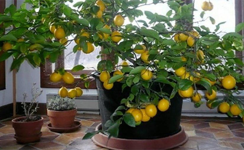 Как вырастить лимонное дерево в домашних условиях (подробная инструкция).