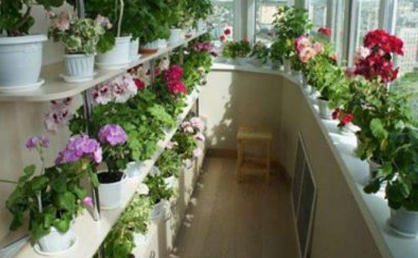 Шикарный цветник дома — это реальность! Секрет – в подкормке! Полезные советы