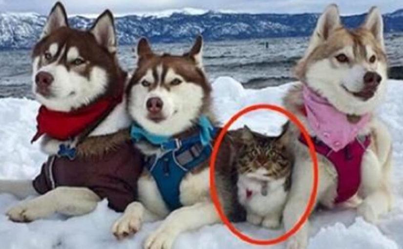 Эту кошку спасли и вырастили хаски. Теперь она считает себя большой и смелой собакой