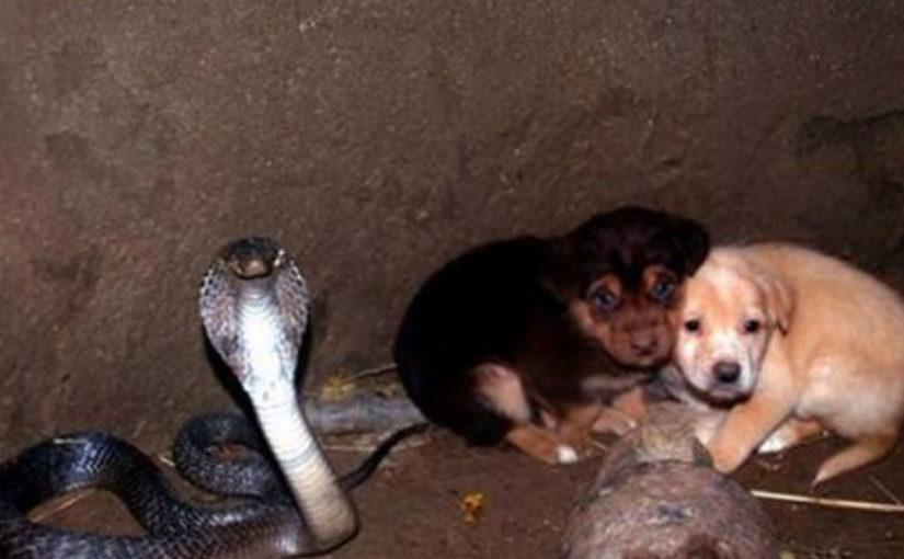 2 щенка попали в яму с коброй спустя 48 часов спасатели были потрясены увиденным
