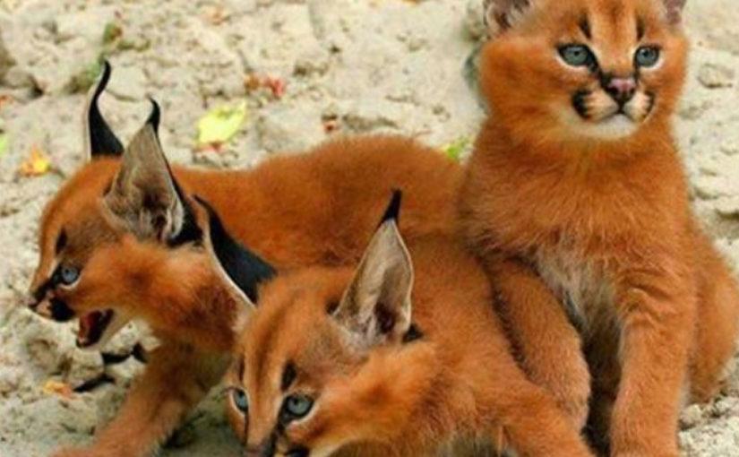 Самые красивые и прекрасные кошки на планете породы дикий каракал