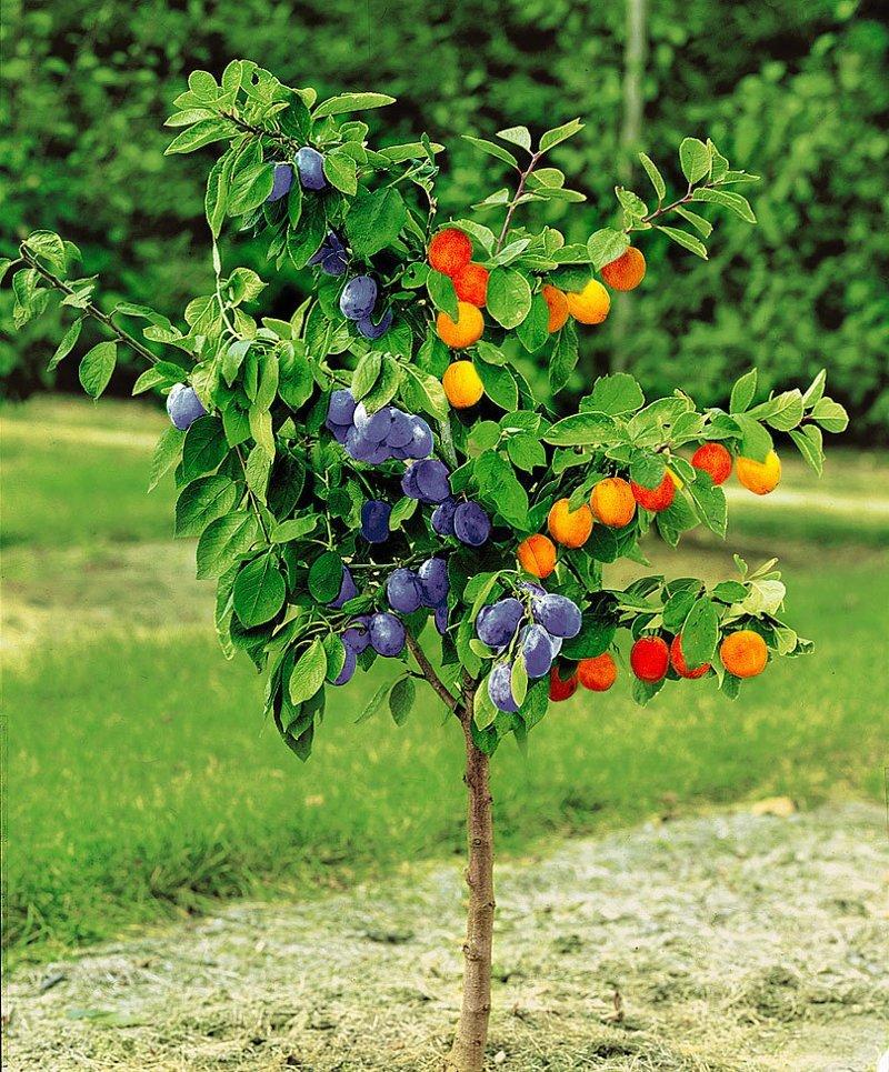 Как вырастить на одном дереве несколько сортов фруктов