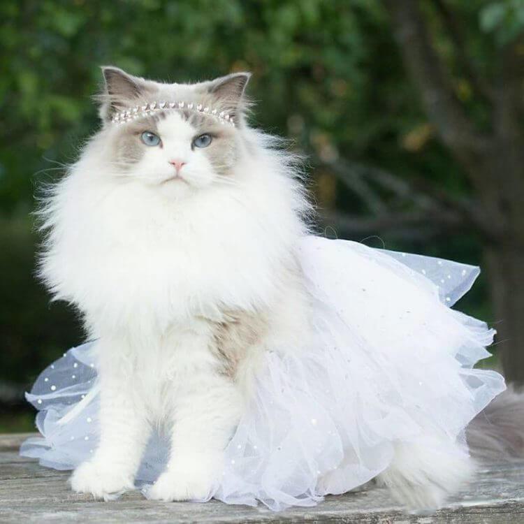 Самая красивая кошка в мире, умная и преданная как собака