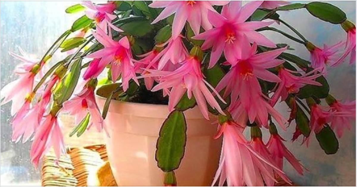 5 лучших средств для цветения декабриста