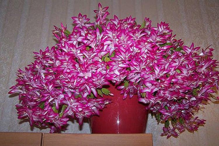 Как заставить «Декабрист» цвести