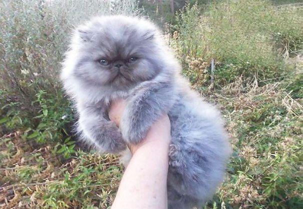 20 самых пушистых кошек в Мире