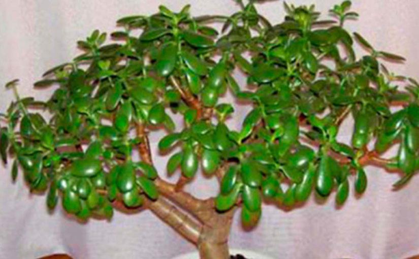 Денежное дерево — настоящее чудо-растение.