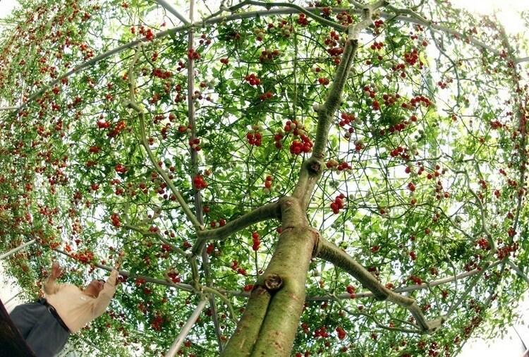 В Израиле вырастили помидорное дерево невероятных размеров.