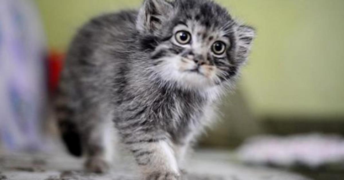 Манулёнок Дарья — история дикого котёнка выросшего среди людей.