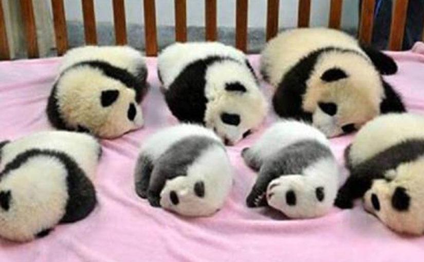 О китайском детском саде для маленьких панд