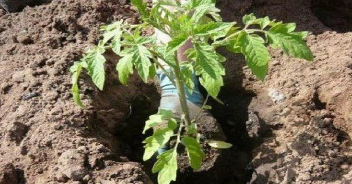 Полезные советы о том, что необходимо класть в лунку при посадке помидоров