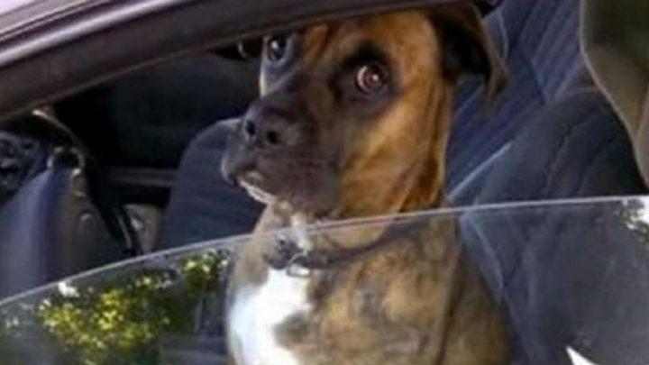 Забавная реакция пса на водительском сидении, над которым решил пошутить хозяин