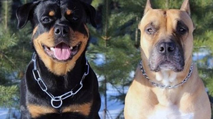 Мохнатые яжотцы или история о двух страшных псах